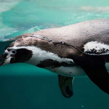 Penguins.What We Know and How We Can Learn More