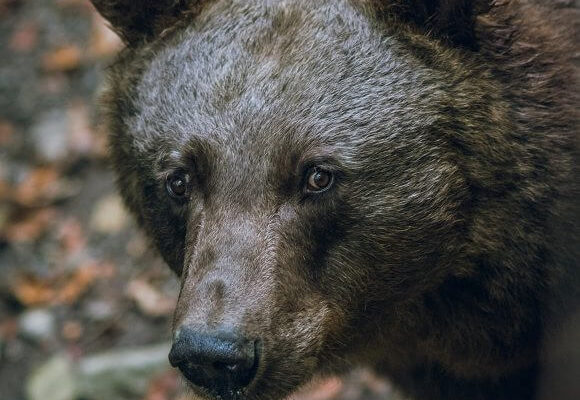 The Grizzly Bear – A Canadian Icon